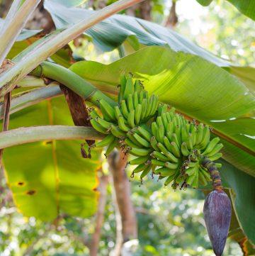 Banana tree, Kerala - thespiceadventuress.com